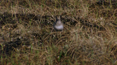 Simipalmated sandpiper and lemming Stock Footage