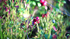 Cowberry bush Stock Footage