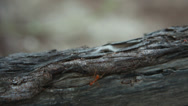 Red ant running along a log Stock Footage