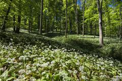 germany, field of wild garlic in forest - stock photo