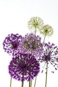 "Stock Photo of ""zierlauch"", ornamental leeks( allium giganteum)"