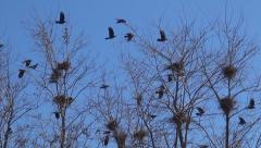 Flying Crows Nestling Nests, Ravens in Flight on a Windy Day, Birds in Spring Stock Footage