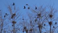 Stock Video Footage of Flying Crows Nestling Nests, Ravens in Flight on a Windy Day, Birds in Spring