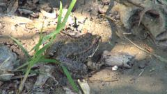 Frog Sitting in Shade near a Pond, Toad Sunbathing near a Fishing Lake, Animals Stock Footage
