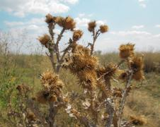 Dried thistle Stock Photos