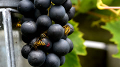 Wasp on grape fruit Stock Footage