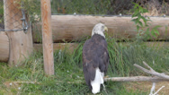 Stock Video Footage of Bald Eagle 3