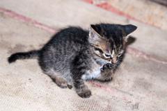 Little kitten licking its paw Stock Photos