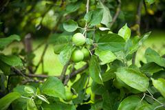 the fruits of apple trees growing on the tree - stock photo