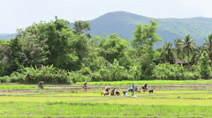 Thai Farmers Planting Rice In Chiang Rai Thailand Stock Footage