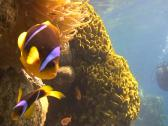 Stock Video Footage of anemonefish