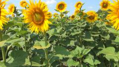 Walking in Sunflowers Field, Agriculture Harvest, Agrarian Culture, Crops Field Stock Footage