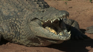 Stock Video Footage of Crocodile with mouth open