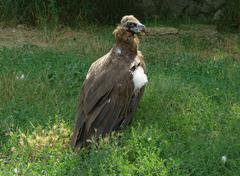 A griffon vulture Stock Photos