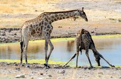 Giraffes at a waterhole Stock Photos