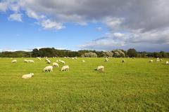 yorkshire wolds sheep - stock photo