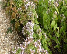 Bees Pollinating a clusters of flowers on a breezy day.  (FLOWER AND BEE 2A) Stock Footage