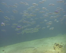 Barracuda red sea1 Stock Footage