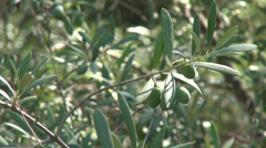 Green olives on branch, Greek island, organic farming, olive oil, Greece2 Stock Footage