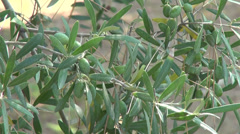 Green olives on branch, Greek island, organic farming, olive oil, Greece1 Stock Footage