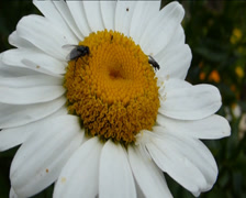 BEES POLLINATING A DAISY FLOWER (FLOWER AND INSECTS 1A) Stock Footage