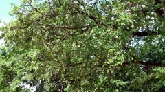 Wood-apple tree with a ripe fruits (Limonia acidissima) Stock Footage