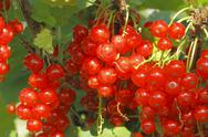 Stock Photo of red currants