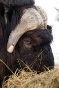Alaska animal musk ox feeds on hay straw vertical composition Stock Photos