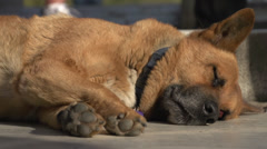 Sleeping dog, people walk by Stock Footage