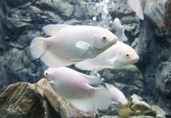 Giant gourami fish Stock Photos