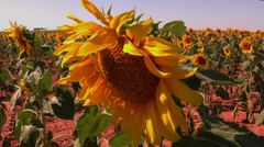 Sunflower field 6 Stock Footage