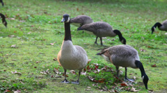Geese - close static shot Stock Footage