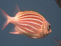 crown squirrelfish - stock footage
