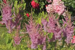 Blooming false spirea Stock Photos