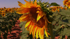 Sunflower field 7 Stock Footage