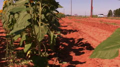 Sunflower field 8 - stock footage