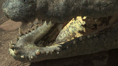 Crocodile teeth - stock footage