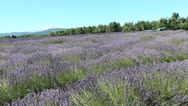 Stock Video Footage of Lavender-9