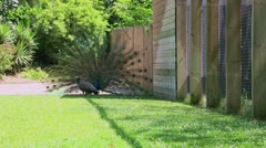 Locked-on shot of peacock and peahen in a park Stock Footage