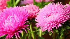 Pink Chrysanthemum Spin CloseUp Stock Footage