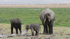 African elephant with young calves Stock Footage