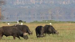 Grazing African buffalos Stock Footage