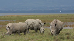White rhinoceros feeding, Lake Nakuru National Park, Kenya Stock Footage