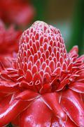 Etlingera elatior flower Stock Photos