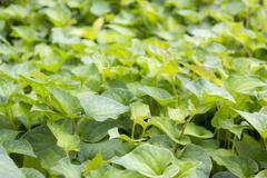 jicama leaves - stock photo