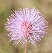 macro pollen of pink flower ,sensitive plant, mimosa - stock photo