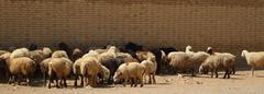 A flock of sheep - stock photo