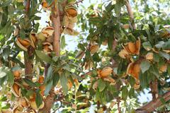 almond-tree - stock photo