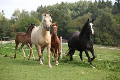 mares with foals running - stock photo