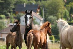 mares with foals on pasturage - stock photo